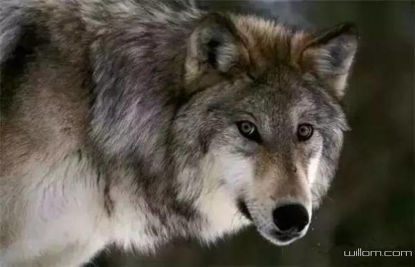 狼若回头,必有理由(经典)